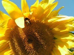 Sunflower Oil in Soap Making