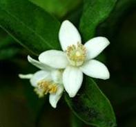 Neroli - orange blossoms