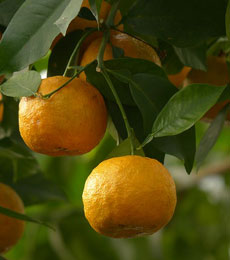 Bitter Orange Tree