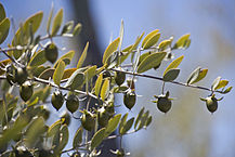 Female Jojoba Plant