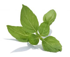 Basil for essential oil