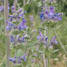 Catnip for essential oil